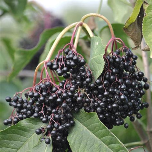 Organic Sampo Elderberry