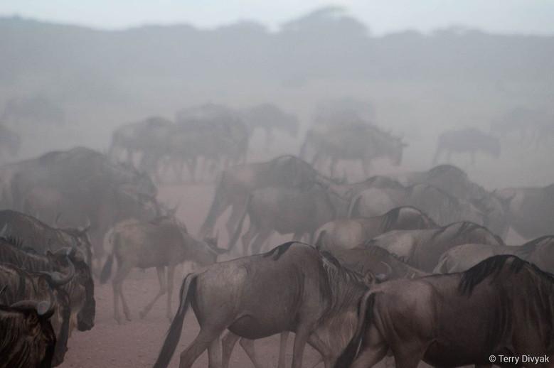Migration of Wildebeest in Tanzania