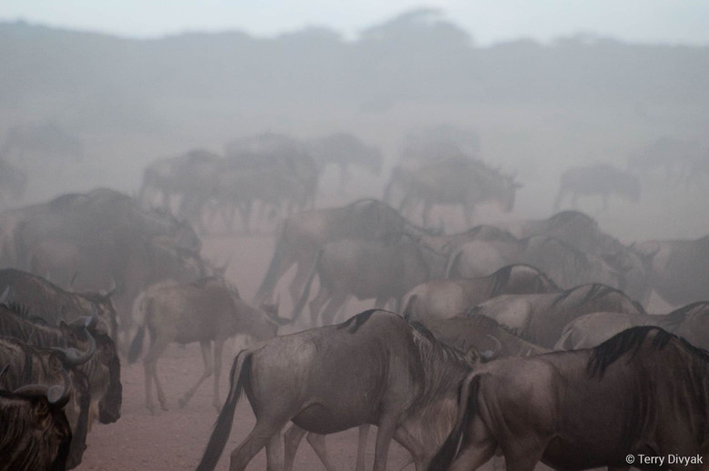 Migration of Wildebeest in Tanzania