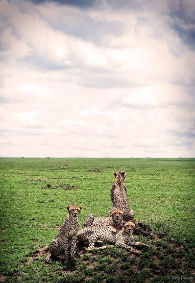 Cheetahs in the Central Serengeti