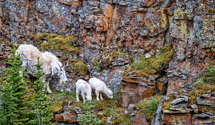 Mountain goats in Yellowstone