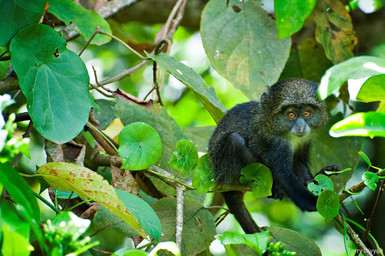 Blue Monkey at Arusha National Park in Tanzania