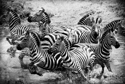 Zebras running from a watering hole in the Central Serengeti