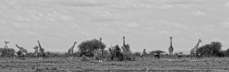 Giraffe's in the Northern Serengeti in Tanzania
