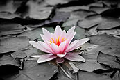 water-lily-pink-aquatic-plant-pink-water