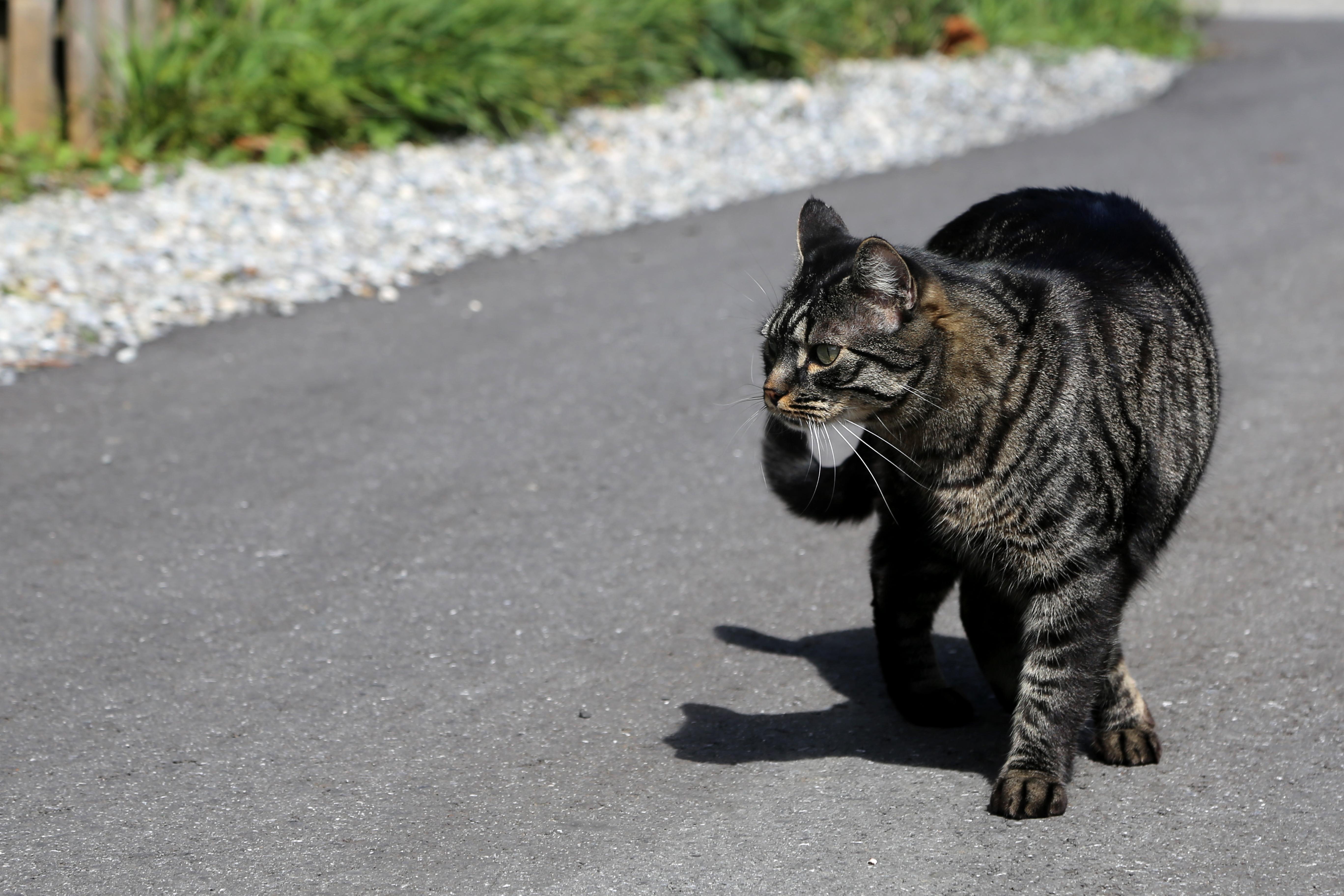 Katze Shirkan