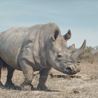 Wildaid Rhino   Polycat