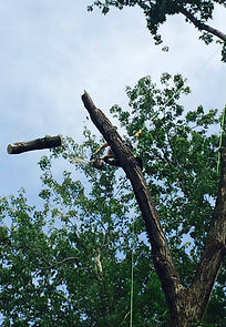 Orion Tree Feller