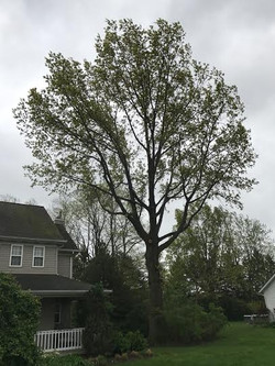 Orion Tree Shaping