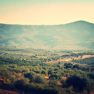 Der Olivenhain in Chalkidiki