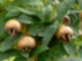 mispel frucht 4.jpg