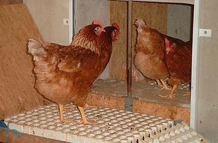 Hühner_Durchgang.jpg
