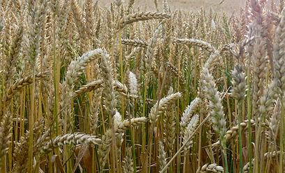 Weizen.jpg