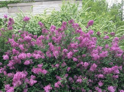 When to prune shrubs that bloom in spring, summer —                          and why hydrangeas are