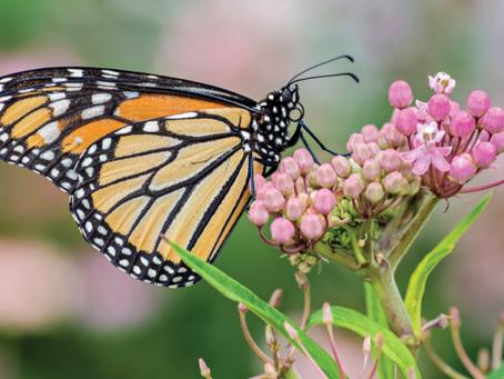 Grow Native Milkweeds to Bring Pollinators to Your Garden