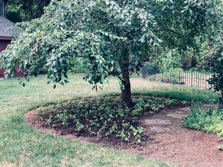 Pachysandra Planting