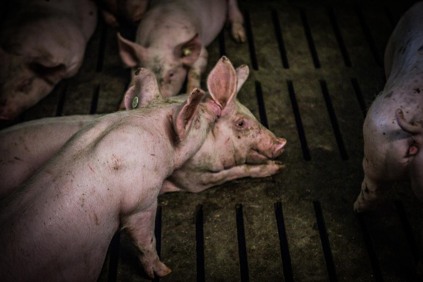 Schweineproduktion-40.jpg