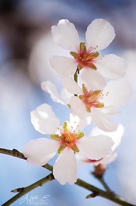 Almond flower #2 שקדיה