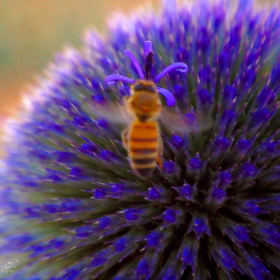 Bee on Purple דבורה בסגול