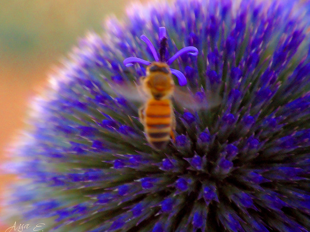 Bee on Purple דבורה בסגול