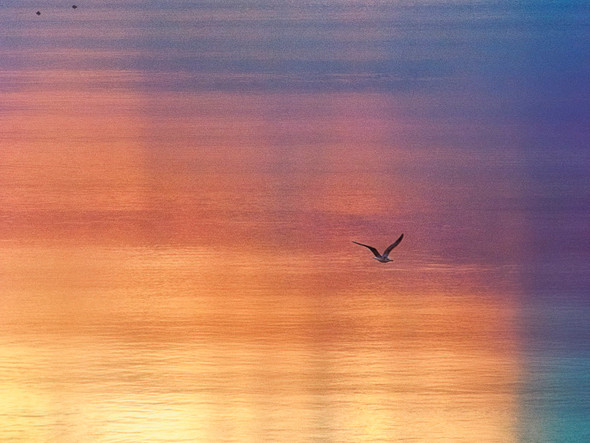 The Seagull color