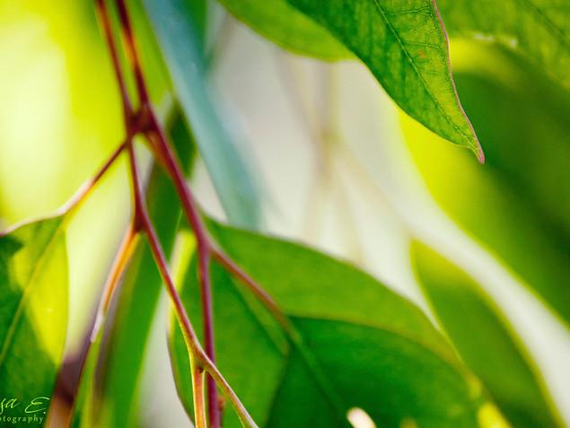 Eucaliptus אקליפטוס