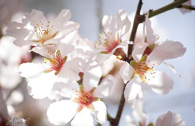 Almonds flower שקדיה