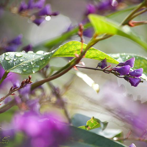 Drops on purple plant טיפות על מטפס סגול