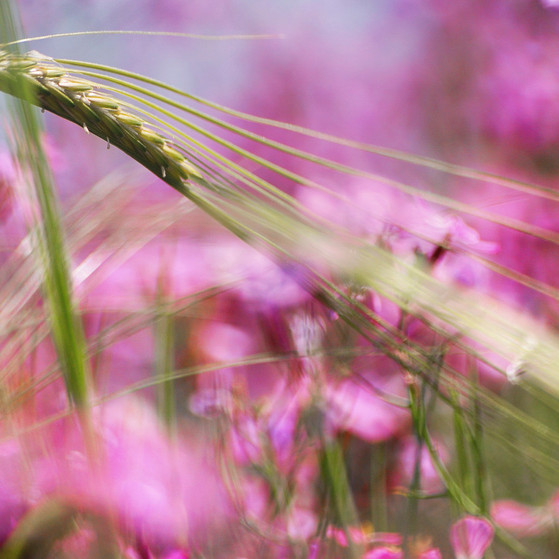 Wild Emmer in pink חיטה בוורוד
