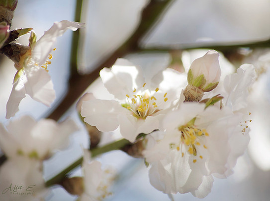 Almond flower #1 שקדיה