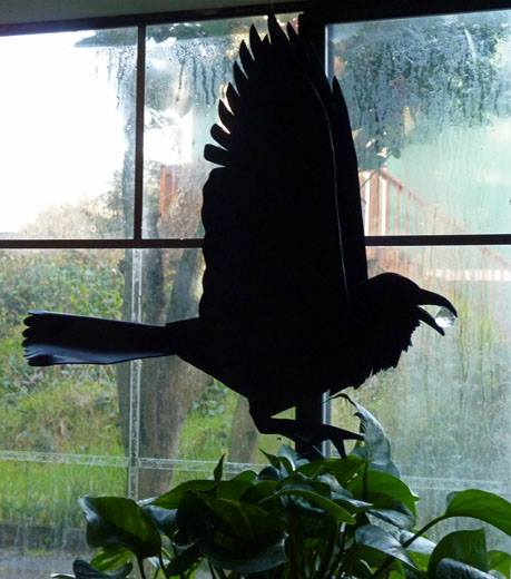 Plain Raven