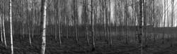 birch forest grebo sweden