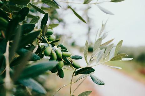 Olivenbaum mediterane Neubepflanzung Gartenideen