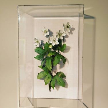 Anemone Wood White.jpg