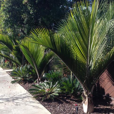 Shaving Brush Palm, Nikau Palm