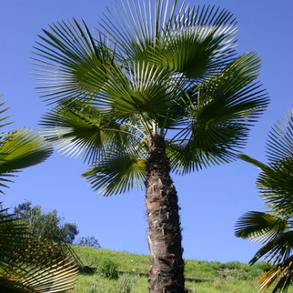 """Kumaon Palm, or, The """"To Kill For Palm"""" (as one of my clients called it)"""