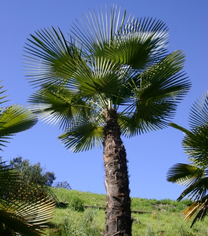 "Kumaon Palm, or, The ""To Kill For Palm"" (as one of my clients called it)"
