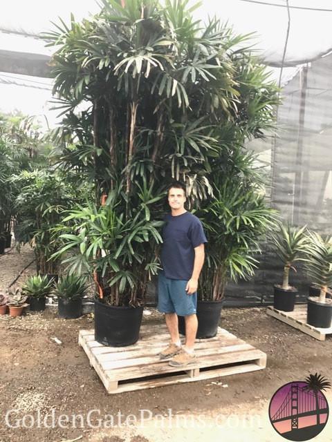 entracing palm tree type house plant.  Lady Palm Golden Gate Palms Nursery