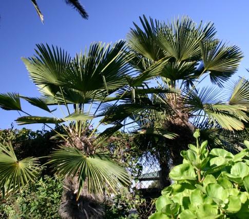 Waggie Palm, Dwarf Chusan Palm