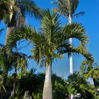 Cold Hardy Bottle Palm