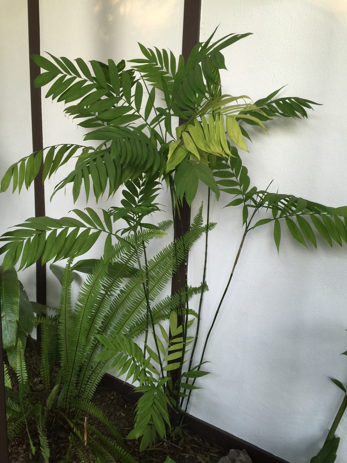 entracing palm tree type house plant. Cold Hardy Bamboo Palm Golden Gate Palms Nursery