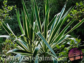 Yucca elephantipes 'Variegata'