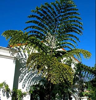Thai Mountain Giant Fishtail Palm