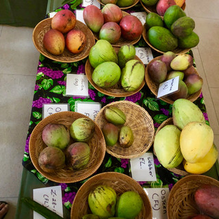 Mangoes at he Fairchild Tropical Botanical Garden Mango Festival