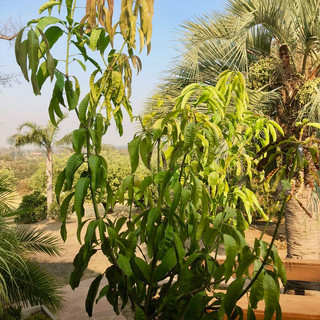 Gary's Mango Tree in Winters, CA