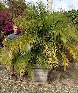 Piglinata Palm (is what I like to call it)