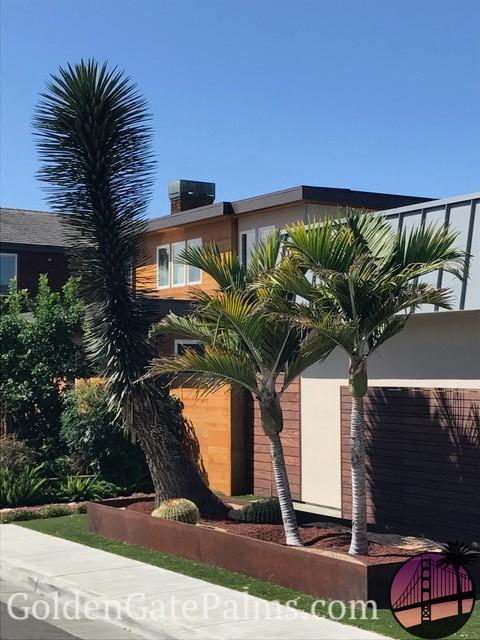 entracing palm tree type house plant. Rhopalostylis baueri  Ravenea rivularis Golden Gate Palms Nursery