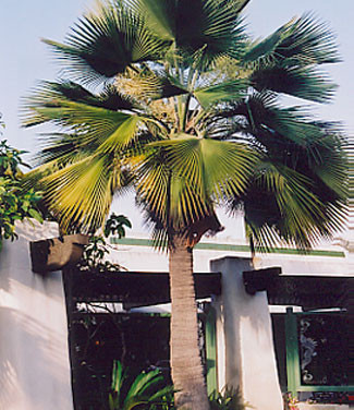 Guadelupe Island Fan Palm