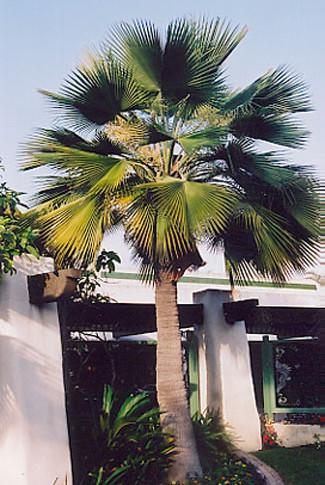 Guadelupe Island Fan Palm