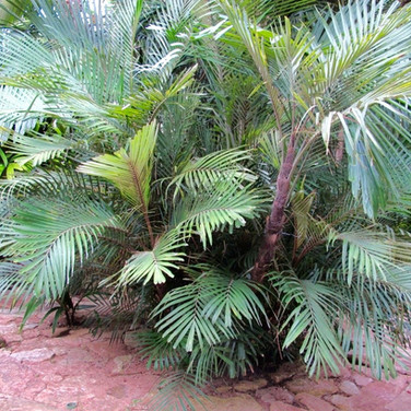 Formosa Sugar Palm